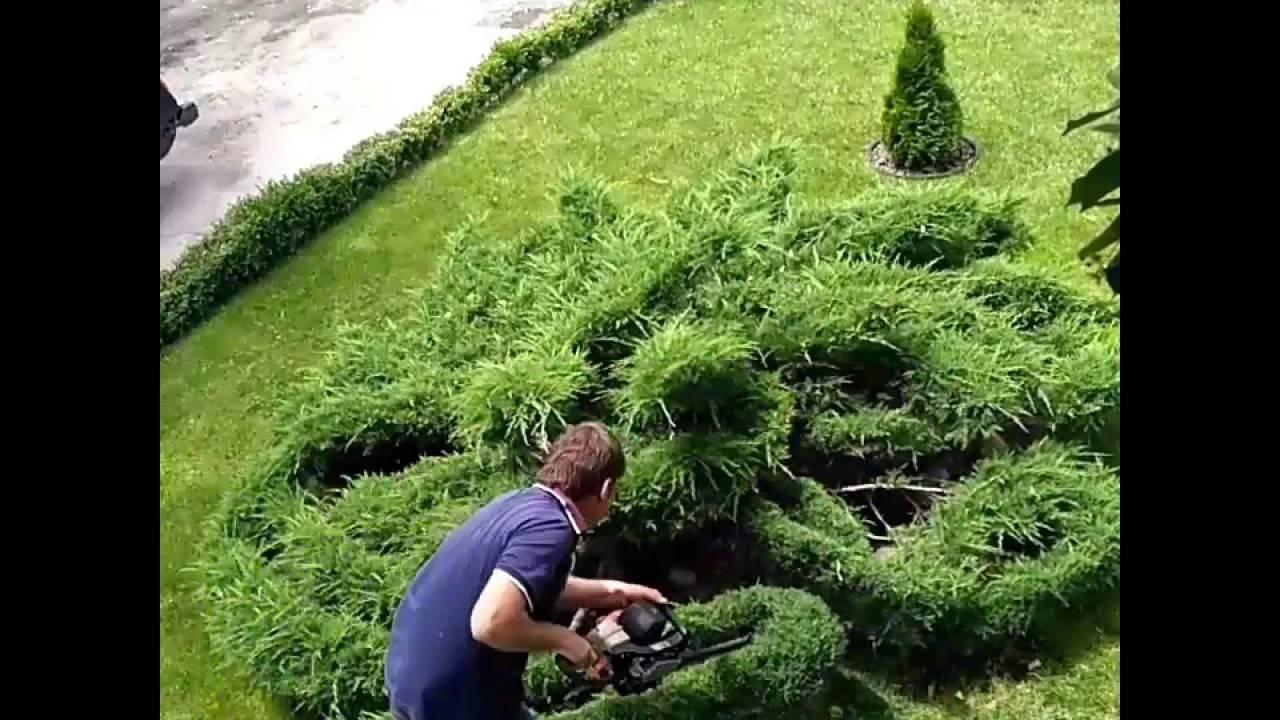 Можжевельник «стрикта» (46 фото): описание сорта можжевельника китайского, посадка и уход, использование в ландшафтном дизайне, болезни и вредители