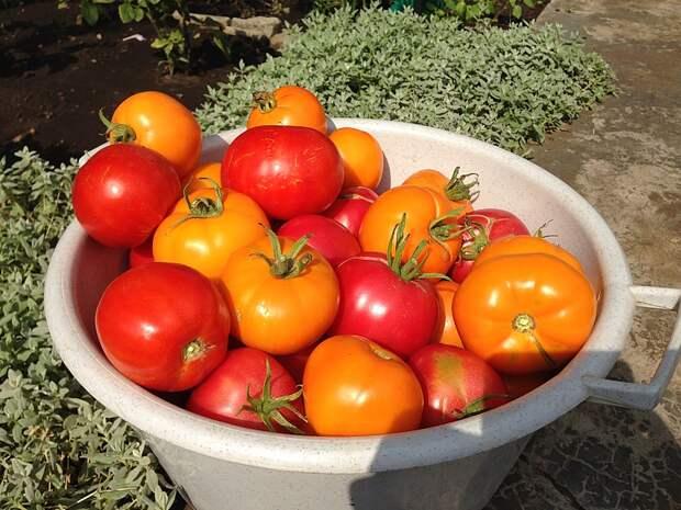 Медная проволока – защита томатов от фитофторы