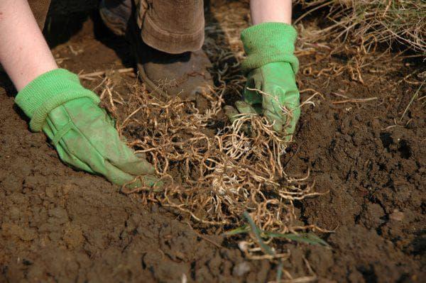 Пырей ползучий: как избавиться от злостного сорняка на участке