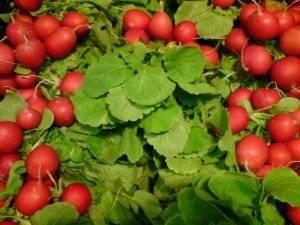 Выращивание репы: сроки посева, подготовка, схема посадки, уход