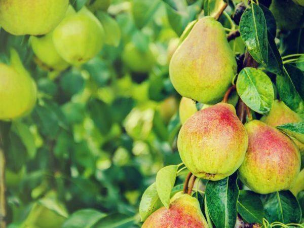 Груша рогнеда: описание сорта, фото плодов, рекомендации по выращиванию
