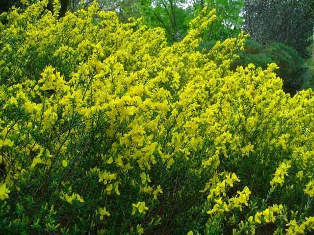 Бобовник – золотой дождь, выращивание, описание, фото и виды