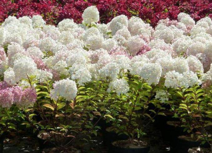 Гортензия метельчатая бобо hydrangea paniculata «bobo»