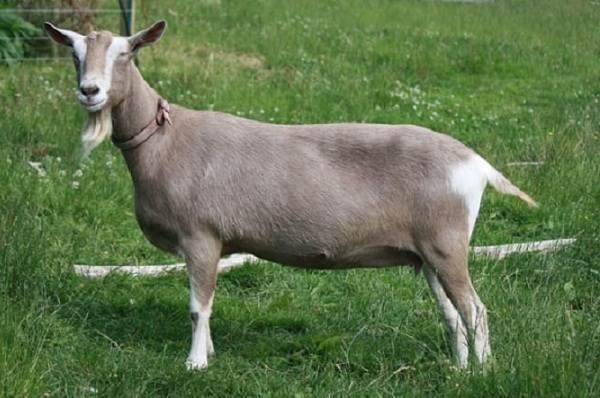 Какие бывают породы коз молочного направления без запаха