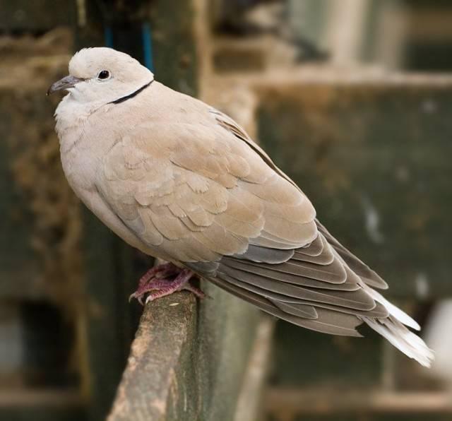 Болезни голубей и их симптомы