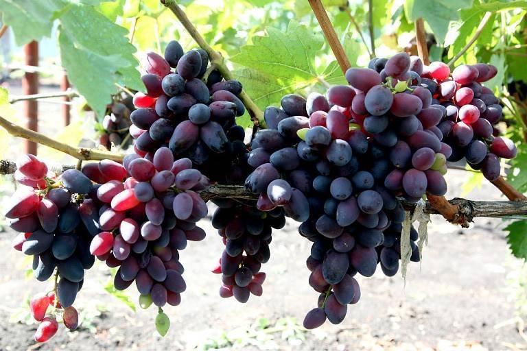 Виноград амурский прорыв: дальневосточная лиана наступает и выигрывает