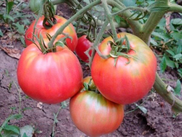Томат воловье сердце: 7 особенностей сорта, посев семян и выращивание рассады