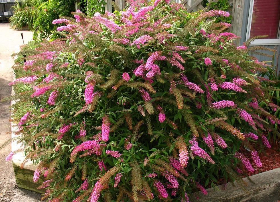 Буддлея давида — разновидности сортов, советы по посадке, уходу, удобрению и лечению. особенности размножения и зимовки растения