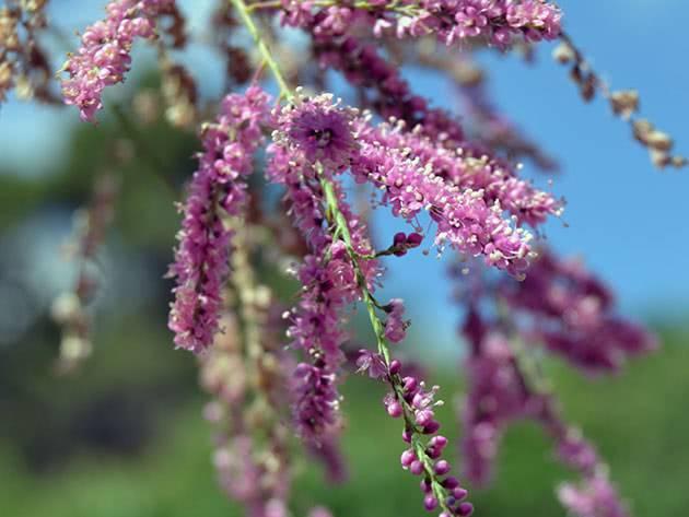 Тамарикс (тамариск): описание и сорта, правила выращивания и ухода
