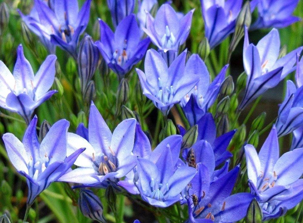 Луковичные цветы: посадка и уход