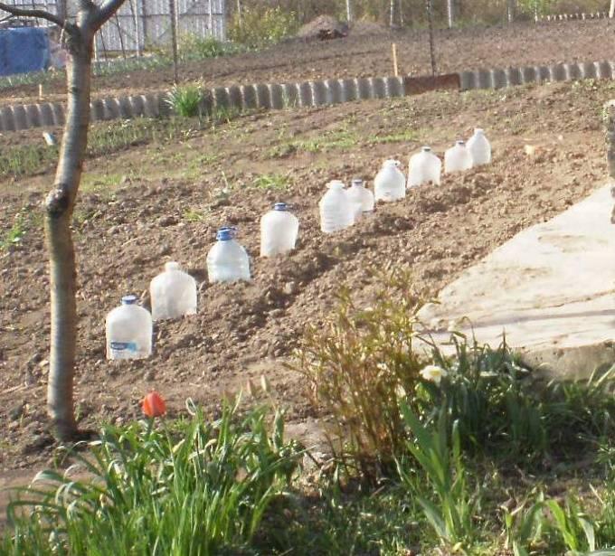 Особенности выращивания пекинской капусты в открытом грунте
