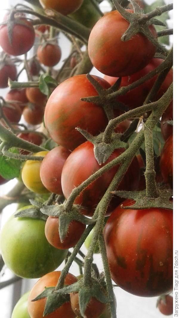 Томат петруша огородник: описание сорта, характеристика, фото, отзывы, урожайность
