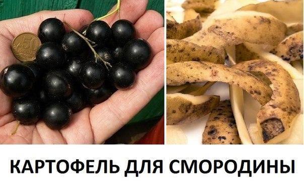 Правила подкормки смородины картофельными очистками