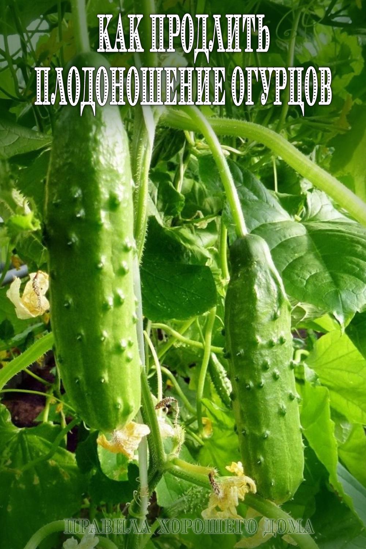 Огурцы в теплице: от рассады до сбора урожая. как правильно? как правильно выращивать огурцы в теплице