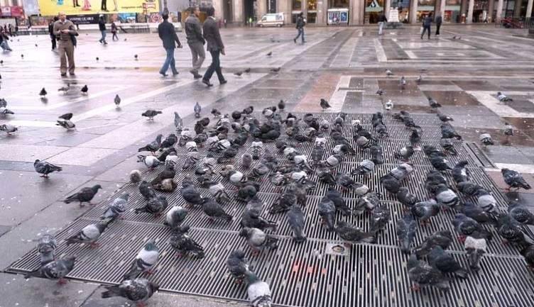 Где живут голуби, и какова продолжительность их жизни
