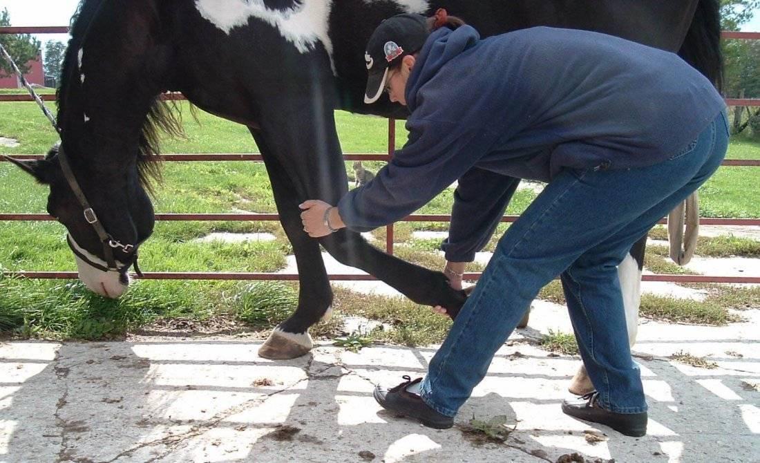 Атония преджелудков у коровы: симптомы, методы лечения, правила профилактики