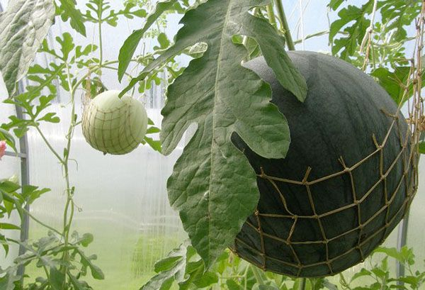Выращивание арбузов в сибири в открытом грунте