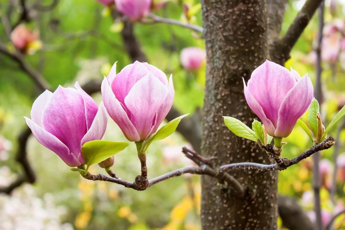Магнолия крупноцветковая: выращивание, размножение, уход