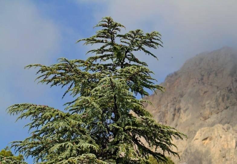 Кедр сибирский, ливанский, корейский, гималайский, атласский, где растет, выращивание из семян, видео