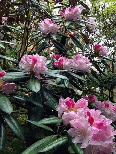 Азалия или рододендрон (azalea). правила ухода в период цветения, обрезка, размножение.