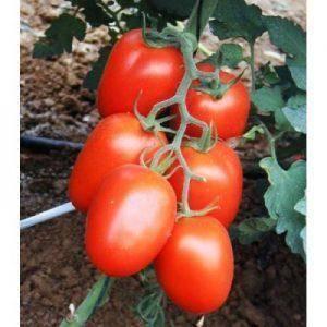 Характеристика и описание сорта томата ураган, его урожайность