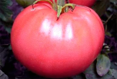 Высокоустойчивый сибирский сорт томата «вельможа»: описание, характеристика, посев на рассаду, подкормка, урожайность, фото, видео и самые распространенные болезни томатов