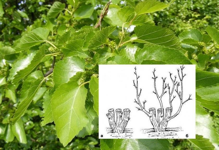 Обрезка шелковицы (тутовника) осенью, летом, весной