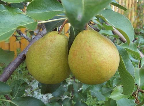 Ботаническое описание и особенности выращивания на участке груши сорта северянка