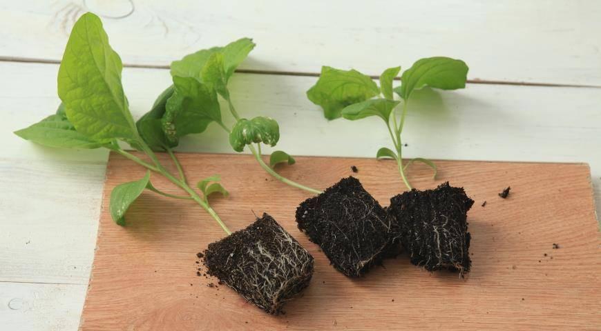 Как правильно посадить и вырастить рассаду баклажанов?