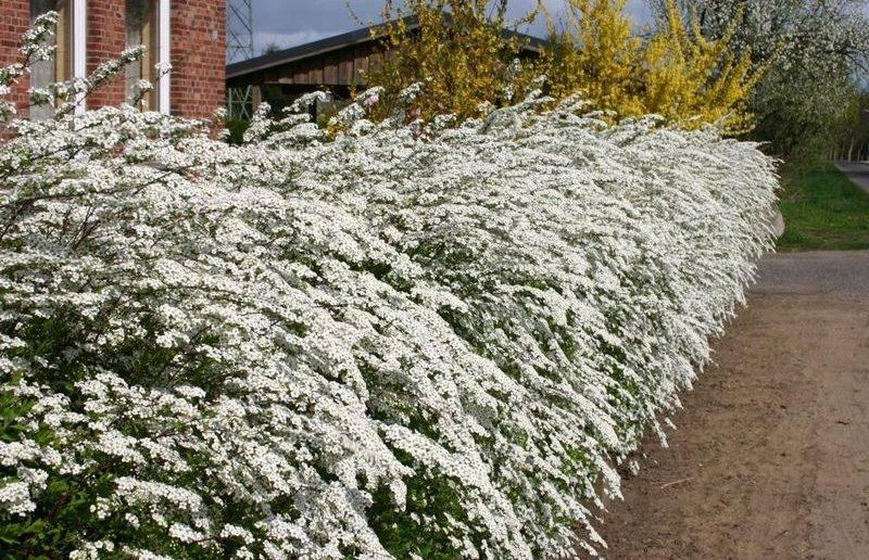 Живая изгородь (146 фото): быстрорастущие многолетние вечнозеленые растения, кизильник блестящий