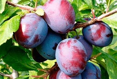 Слива конфетная: описание сорта, деревья опылители, правила посадки и уход с фото
