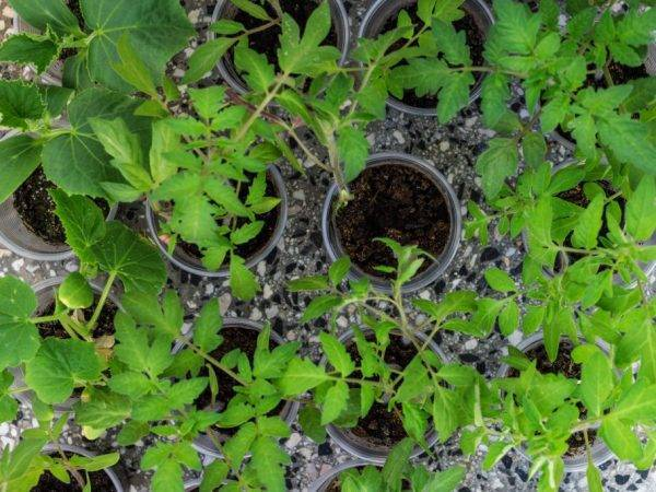 Огурцы на балконе: секреты выращивания и ухода. выбор сорта и советы по получению большого урожая (120 фото и видео)