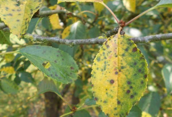 Грибковые болезни вишни: симптомы, профилактика, лечение