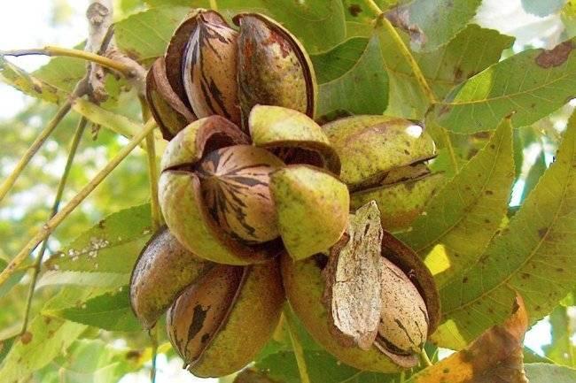 Выбор сорта и выращивание маньчжурского ореха в сибири