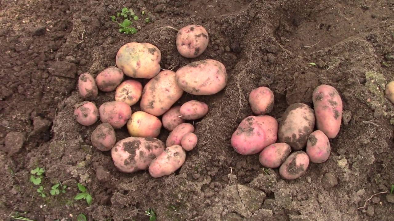 Картофель «барон»: раннеспелый и высокоурожайный сорт