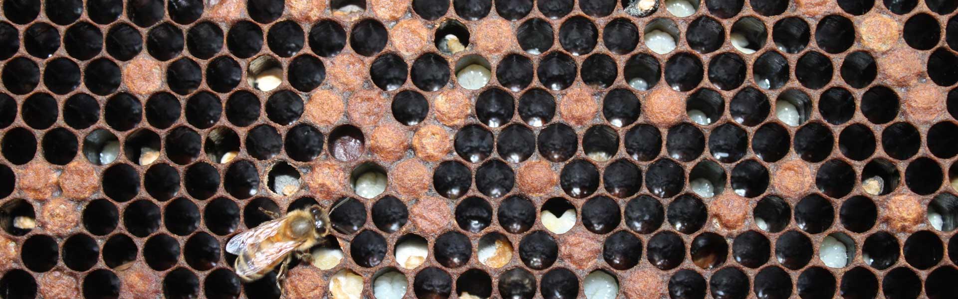 Аскосфероз пчел – признаки и лечение известкового расплода