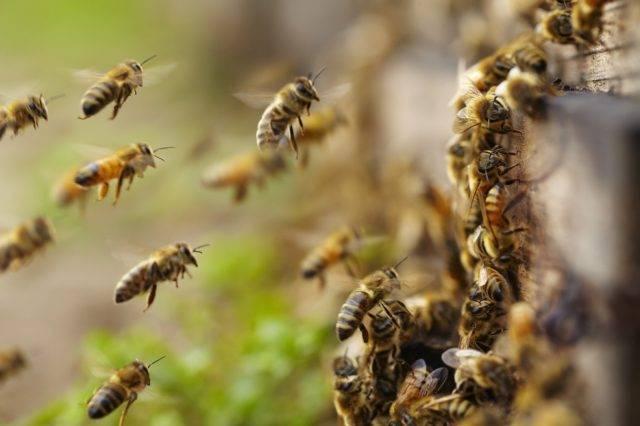 Объединение слабых пчелиных семей весной