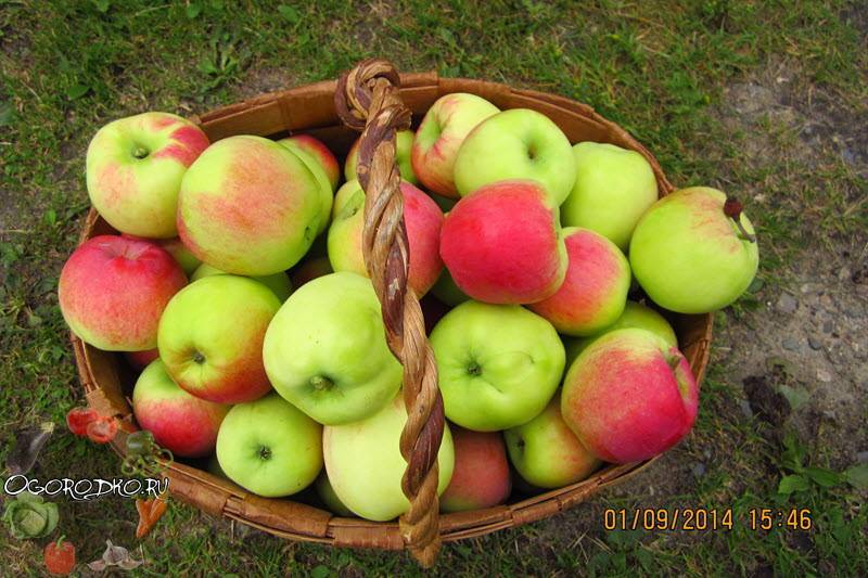 Характеристика и описание яблони «медуница»