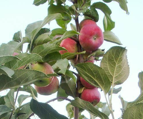 Яблоня серебряное копытце – выбор саженцев и правила агротехники