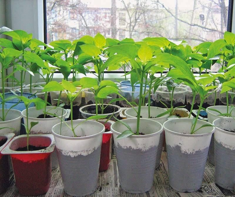 Посадка перца на рассаду: как посеять и вырастить рассаду перца в домашних условиях   топ огород