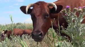 Почему корова долго не телится (причины, сроки, опасн. признаки!)