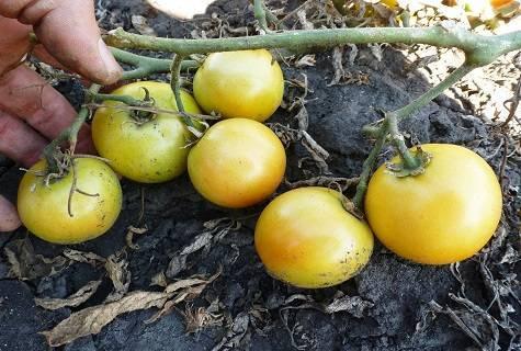 Томат лонг кипер: описание сорта, фото, отзывы, характеристика, урожайность