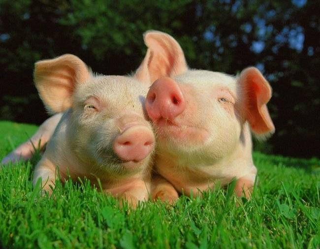 Спаривание свиней в домашних условиях: советы для начинающих с видео