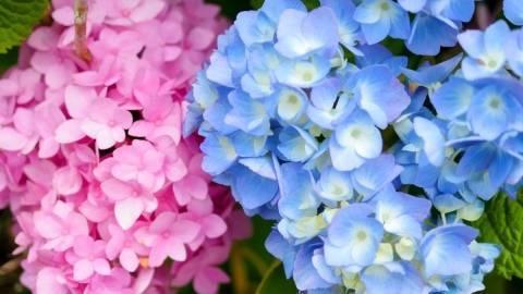 Чем поливать гортензию, чтобы она изменила цвет