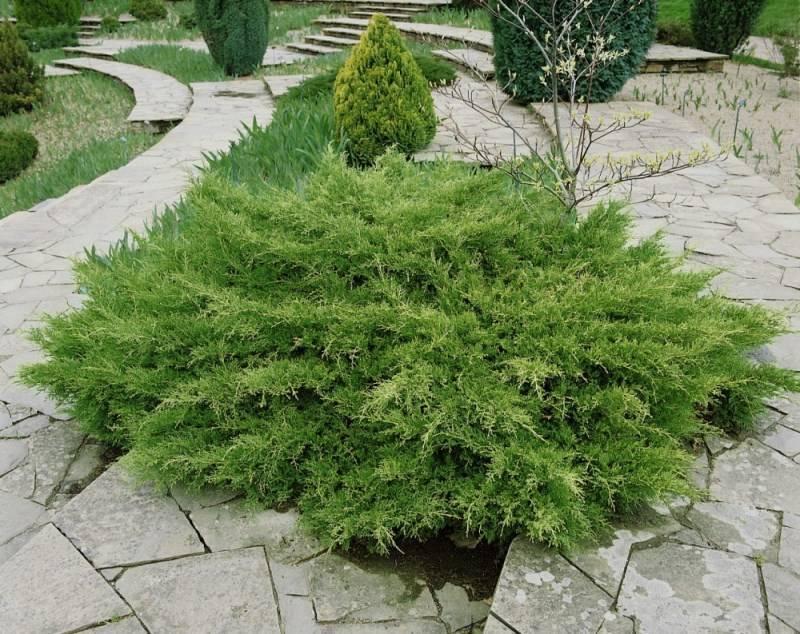 Можжевельник горизонтальный андорра вариегата (juniperus horizontalis andorra variegata)