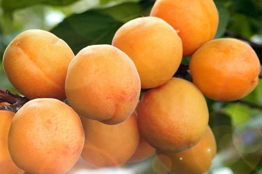 Особенности популярного сорта абрикос лель