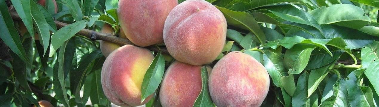 Высаживаем персиковые деревья на участке правильно: пошаговая инструкция для новичков