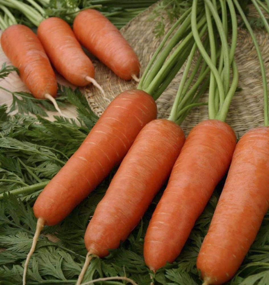 Любителям голландской селекции: что за сорт моркови абако и каковы его характеристики?