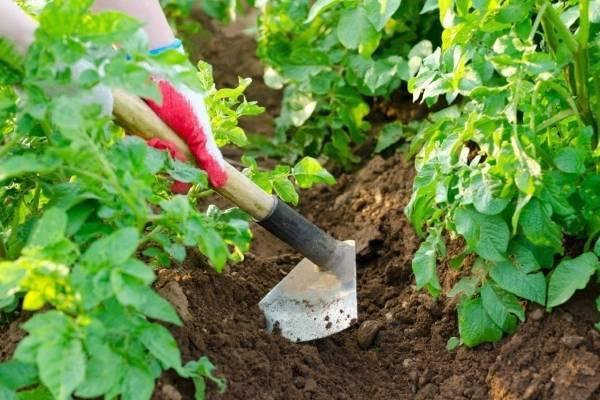Сорт картофеля «санте»: характеристика, описание, урожайность, отзывы и фото