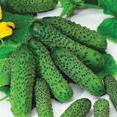 Сорт огурцов эколь f1: важные аспекты выращивания и ухода